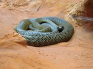 Fierce Snake - world's most venomous land snake