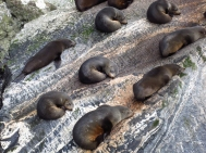 Seals sleeping on a rock