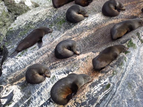 Seals sleeping on a rock
